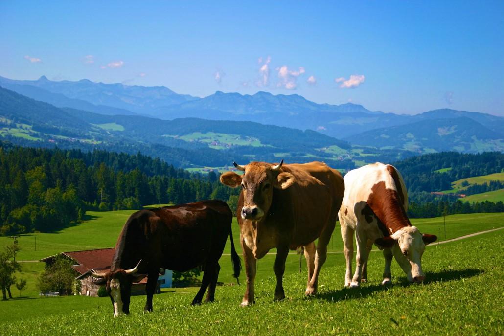Bergpanorama mit Kühen